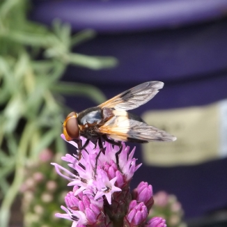Large Pied-hoverfly (Volucella pellucens)