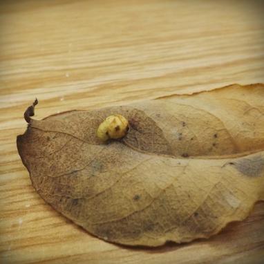 Willow Gall Sawfly (Pontania pedunculi)