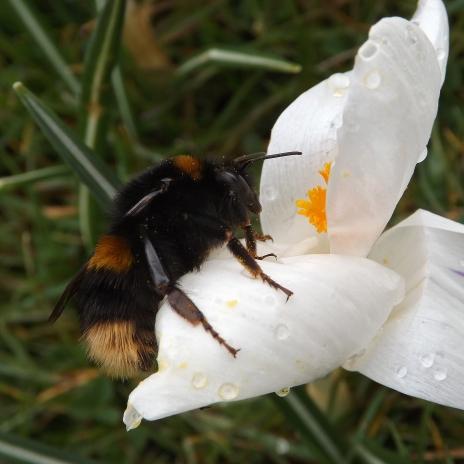 Buff-tail Bumblebee (Bombus terrestris)