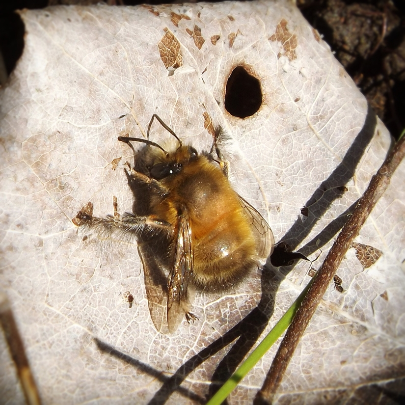 Hairy-footed Flower Bee (Anthophora plumipes)