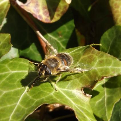 Stripe-eyed Dronefly (Eristalis tenax)