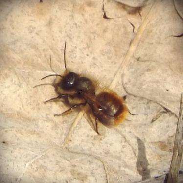 Red Mason Bee (Osmia bicornis)