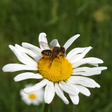 Patch-work Leafcutter Bee (Megachile centuncularis)