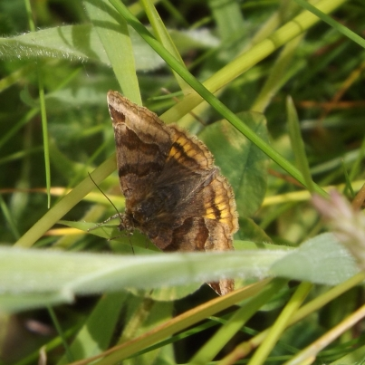 Burnet Companion (Euclidia glyphica)