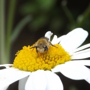 plasterer bee (Colletes sp.)