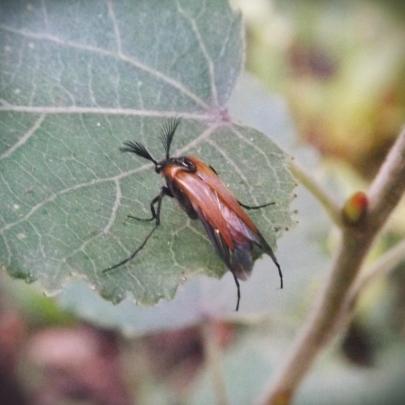 Wasp Nest Beetle (Metoecus paradoxus)