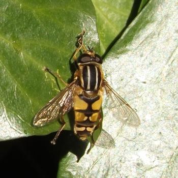 Tiger Hoverfly (Helophilus pendulus)