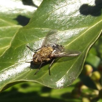 Awkward Clusterfly (Pollenia rudis)