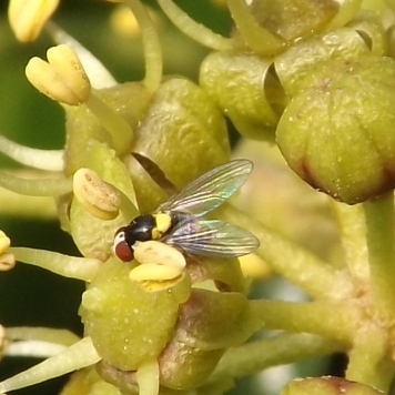 a fruit fly (Acletoxenus formosus)