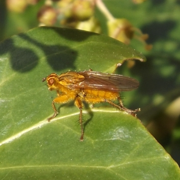 Yellow Dung-fly (Scathophaga stercoraria)