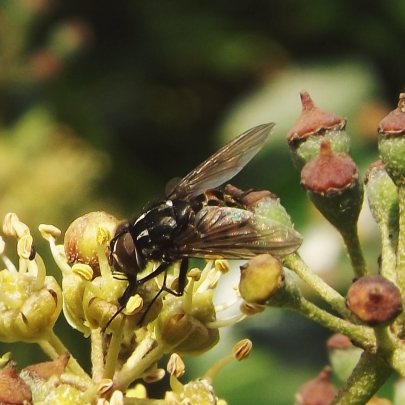 a house fly (Graphomya maculata)